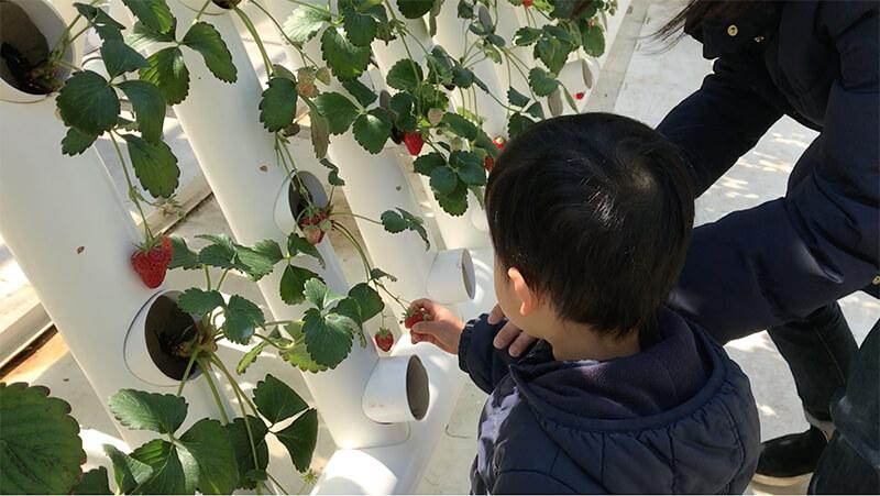 いちごの実を摘む子供
